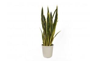 Roślina Sansewieria gwinejska 75cm (sztuczna)